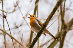 A robin in song, symbolising the White House whistleblower.